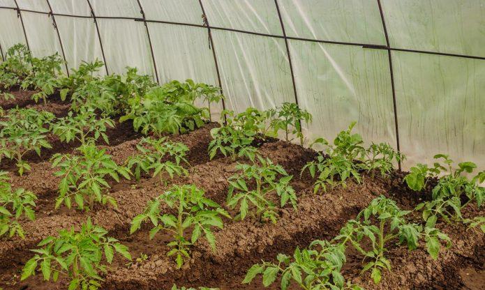 Высадка рассады томатов в грунт