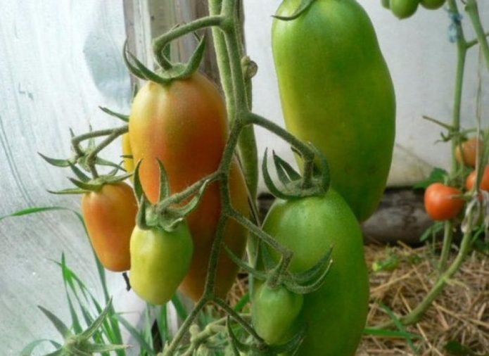 Созревание урожая томатов Каспар F1
