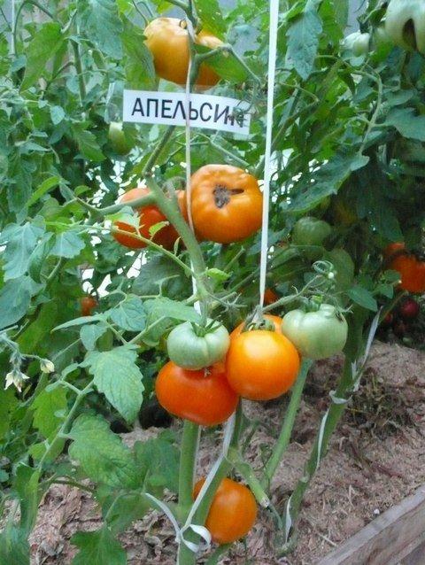 Куст томата Апельсин
