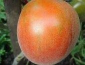 Персиковый томат с опушением