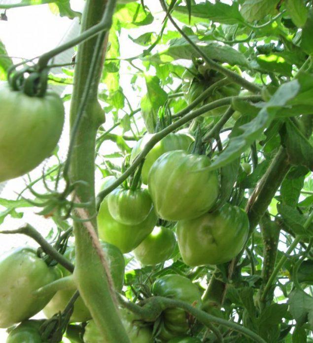 Обилие завязавшихся плодов на кустах сорта Медовый спас