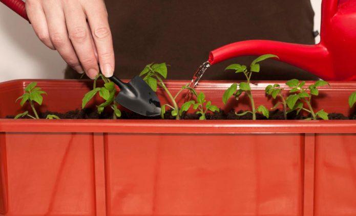 Полив и рыхление молодых томатов