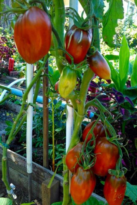 Кубинский перцевидный томат
