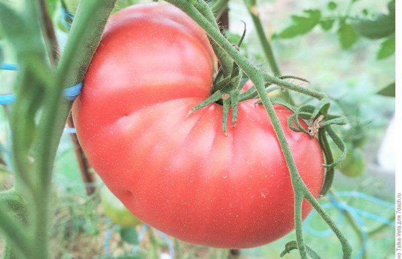 томат малиновый гигант отзывы фото яхты