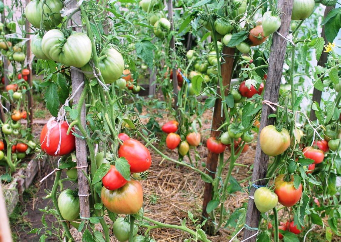 помидоры пудовик отзывы с фото мне без них