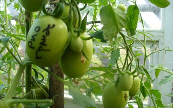 Неспелые томаты Рио Гранде