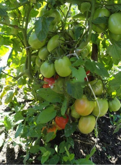 Плодоношение томатов Рио Гранде