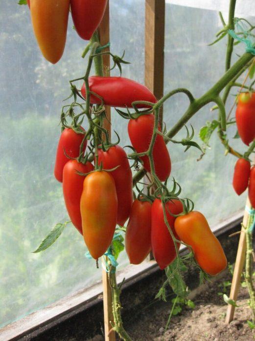 Куст перцевидных томатов с удалёнными листьями