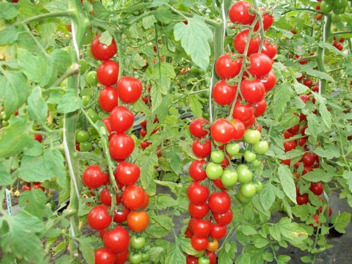 Сильнорослые мелкоплодные помидоры