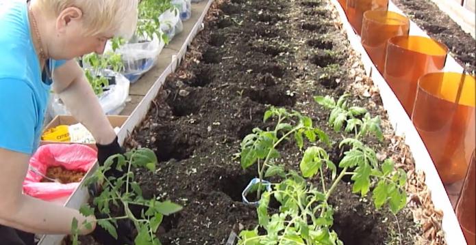 Лунки под томаты