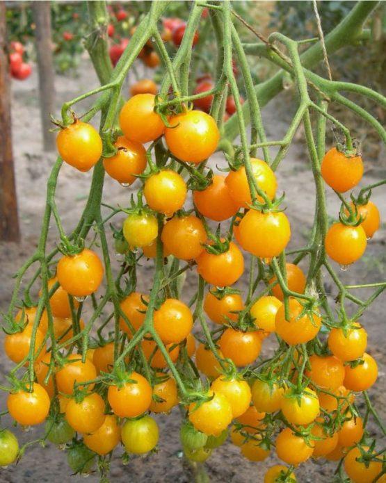 Желтоплодные плоды черри, похожие на ягоды