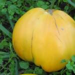 Медовый спас выглядит аналогично современным сортам биф-томатов