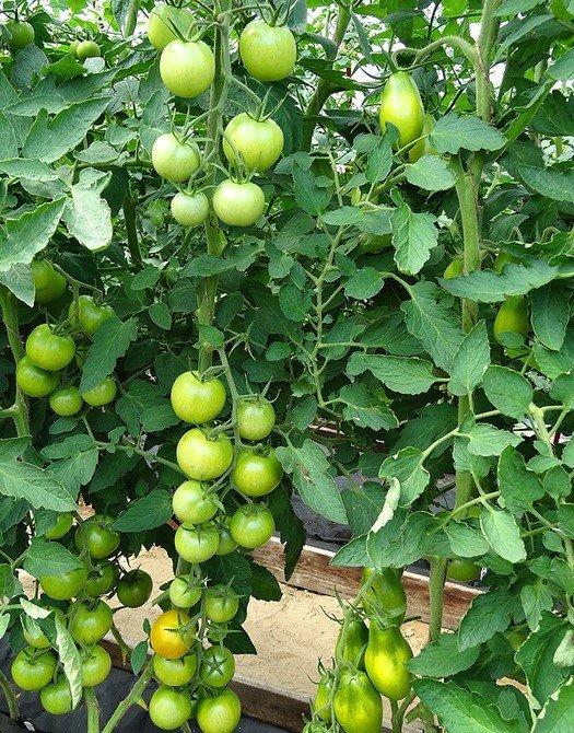 Зелёные томаты на кустах