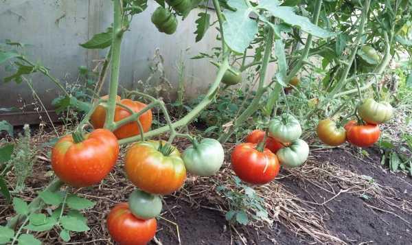 Кусты томата Хлебосольный