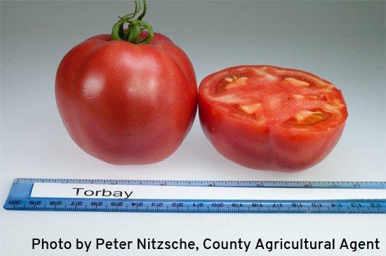 Плоды томата Торбей