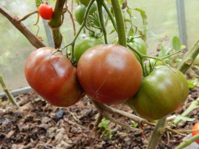 Кисть томатов Шоколадный