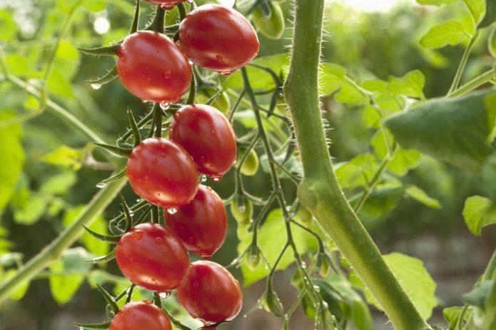 Кисть сливовидных томатов