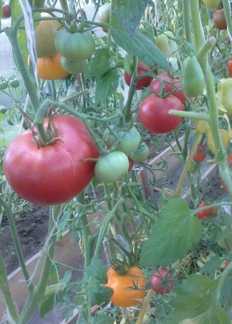 Плоды томата Розмарин F1 на кусте