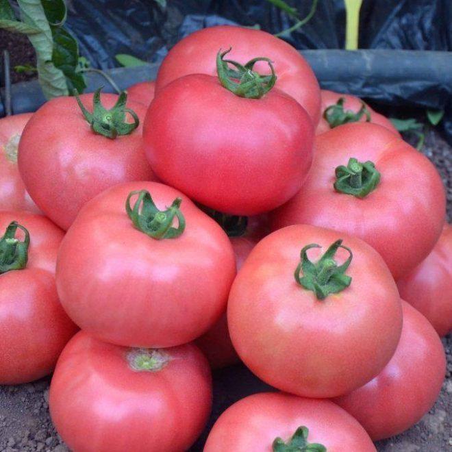 Плоды томата Розмарин F1