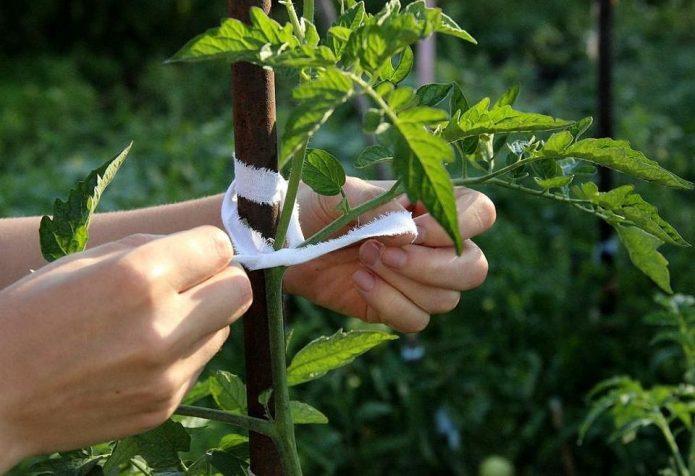 Подвязывание куста томатов
