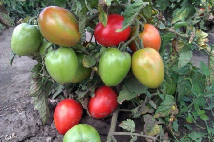Плоды томата Боец на кусте