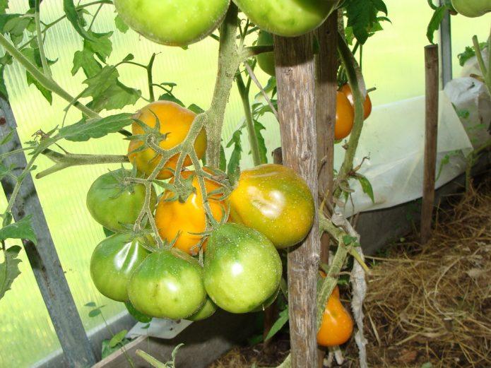 Плоды томата Японский трюфель на кусте