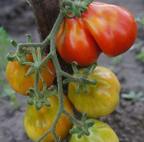 Незрелые томаты Японский трюфель