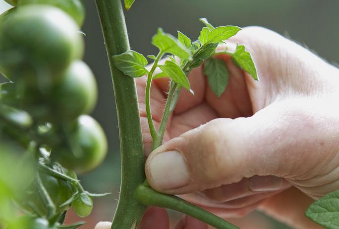 Пасынки на кусте томата