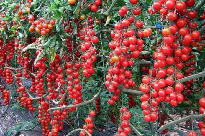 Дружное созревание томатов