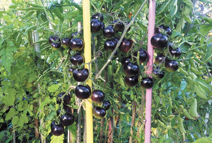 Куст томата Чёрная гроздь