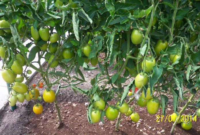Незрелые томаты на кустах