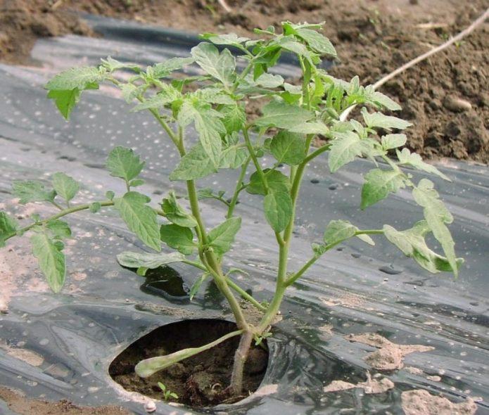 Замульчированный томат