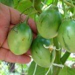 Зелёные плоды тамарилло