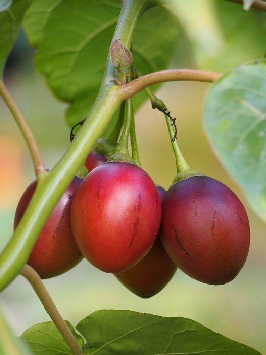 Плоды цифомандры на растении