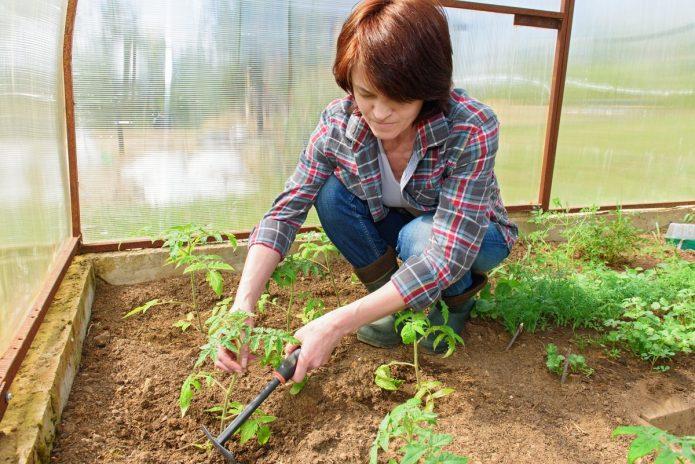 Огородница высаживает томаты в теплице
