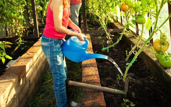 Огородница поливает томаты из лейки