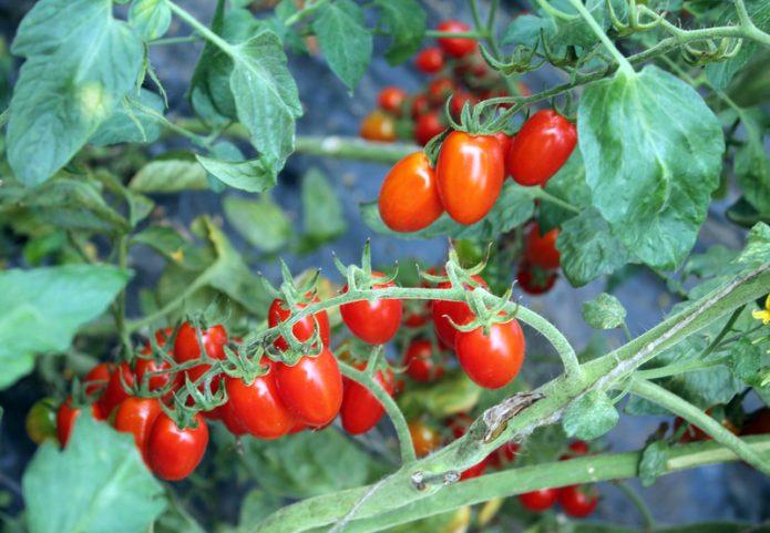Плоды томата Комнатный сюрприз