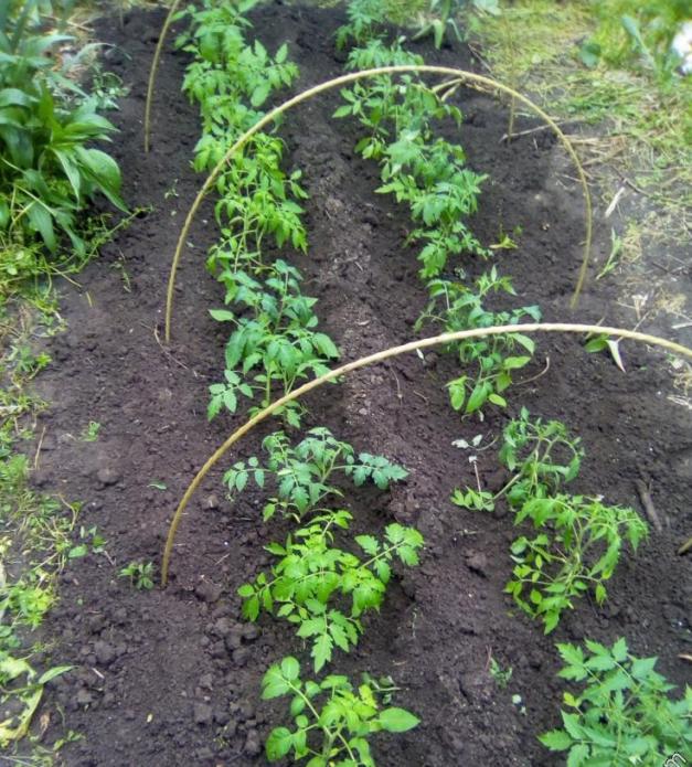 Грядка помидоров с дугами