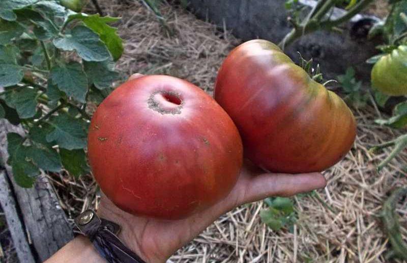 томат черный крым