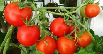 томат сорта Вспышка