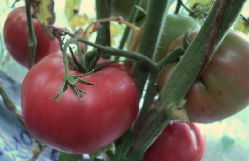 томатный сорт Розмарин