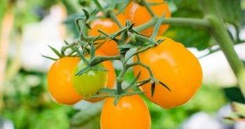 Помидоры с оранжевыми плодами