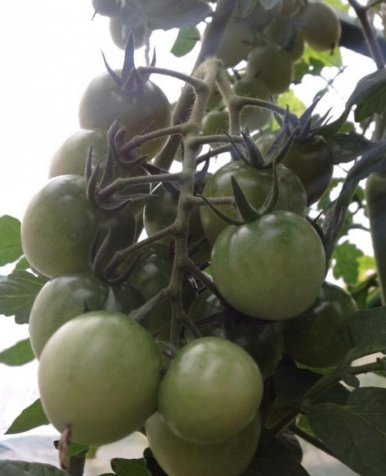 семена зеленушка