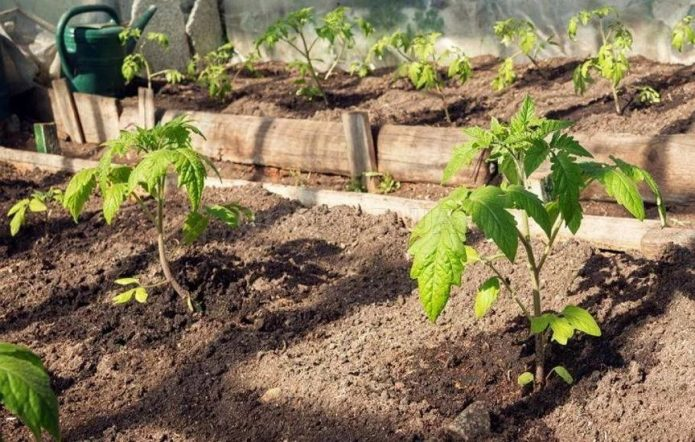 Высаженная в грядку рассада томатов