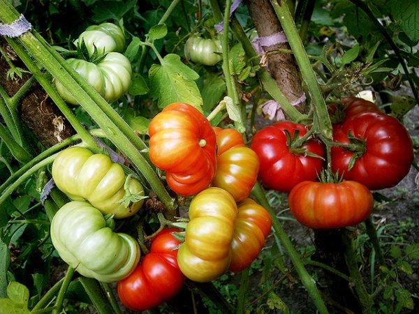 Урожайность томатов Марманде