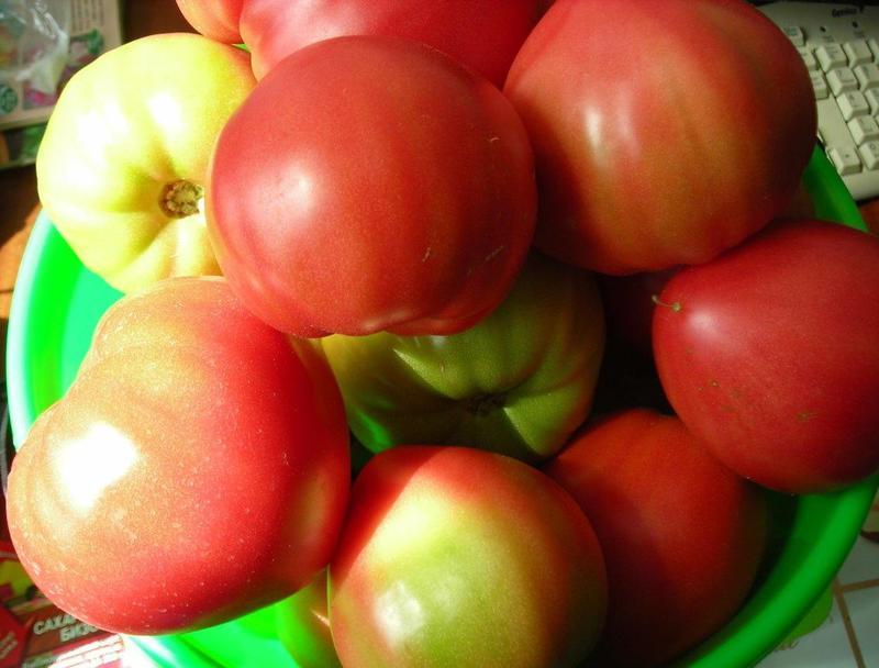 Особенности выращивания томатов Сахарный бизон в теплицах