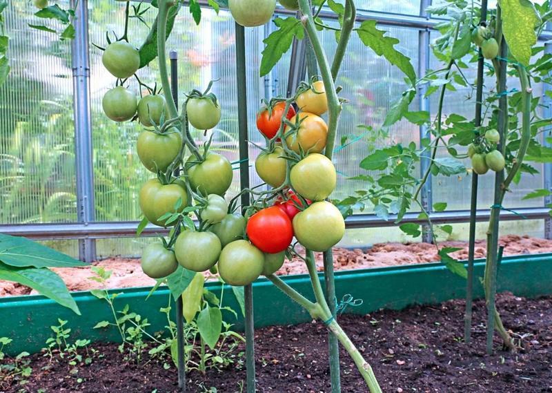 Как правильно посадить рассаду томатов в теплицу