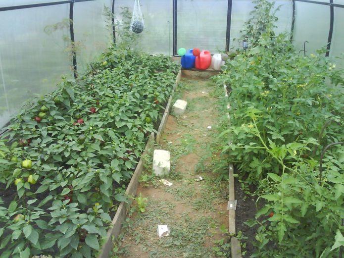 Перец и томаты в теплице