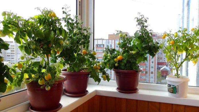 Черри для выращивания в домашних условиях