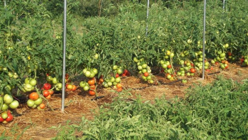 грядка с томатами